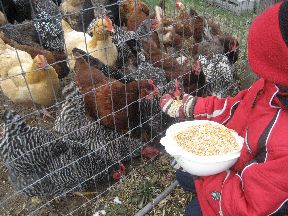 Feeding chickens3