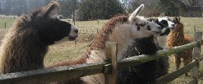 Lamas lining up for treats