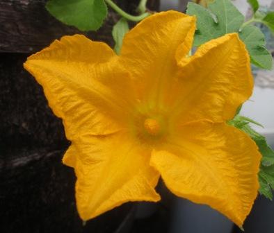 Pumkin flower2