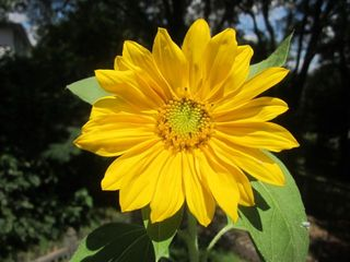 Sunflower_open