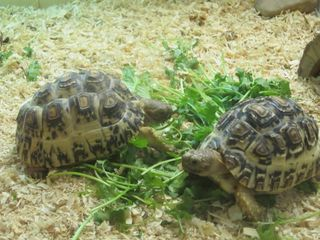 Baby tortise