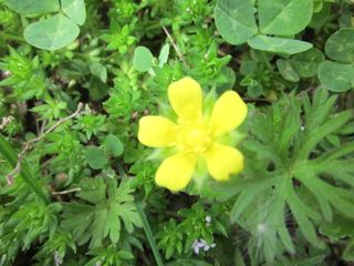 Weed flower yellow3