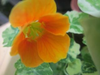 Edible flower